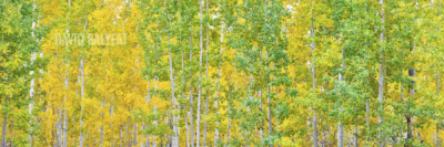 green and yellow aspen trees autumn transitions Colorado panoramic landscape photography