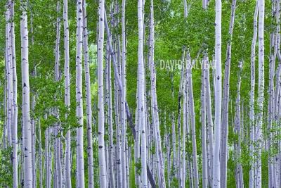 Aspen trees Colorado summer green high definition HD professional landscape photography
