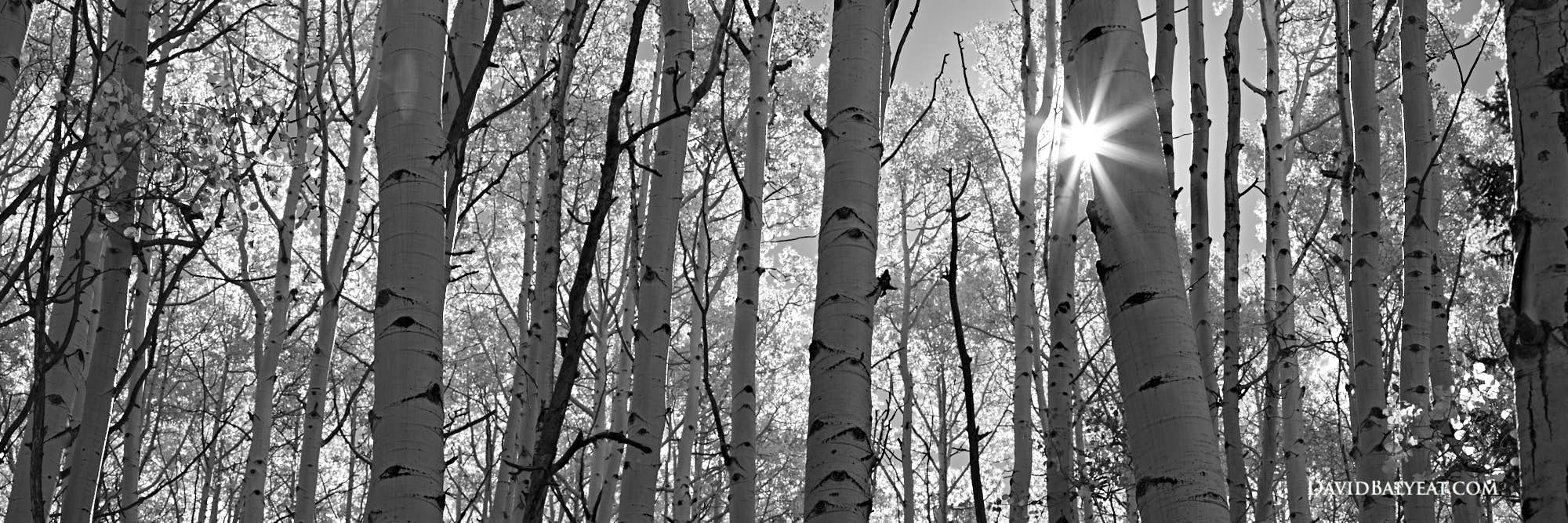 Aspen trees panoramic black and white sunburst high definition hd professional landscape photography