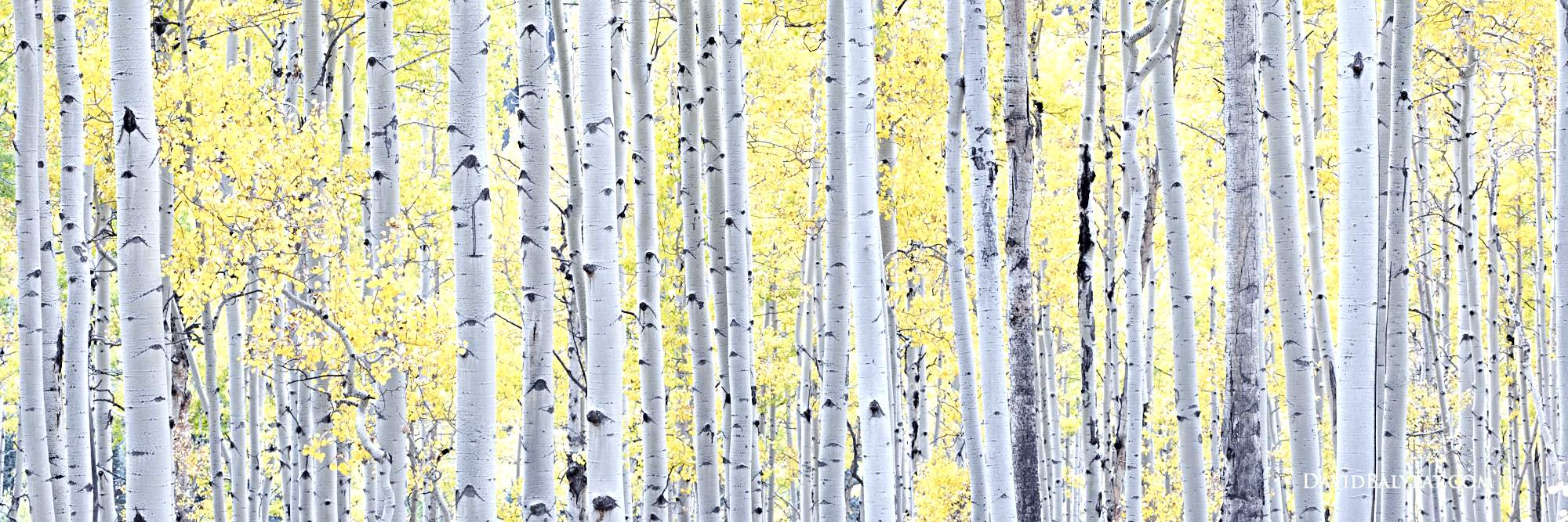 Aspen trees panoramic fall foliage autumn Colorado high-definition HD professional landscape photography