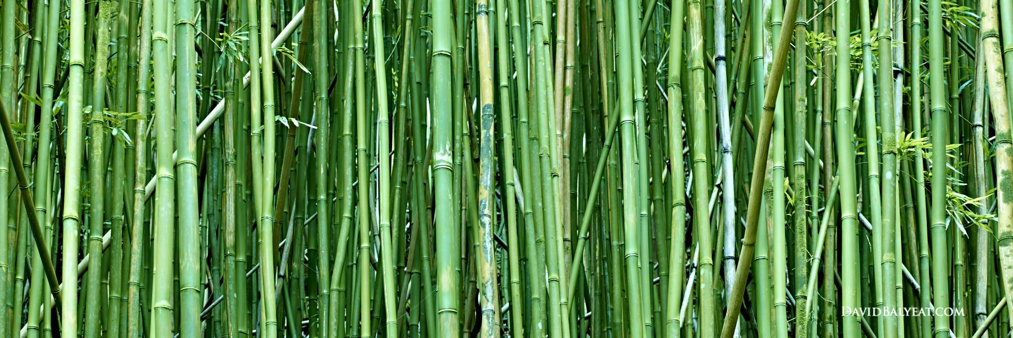 bamboo-grove-hawaii-panoramic-good-fortune-high-definition-hd