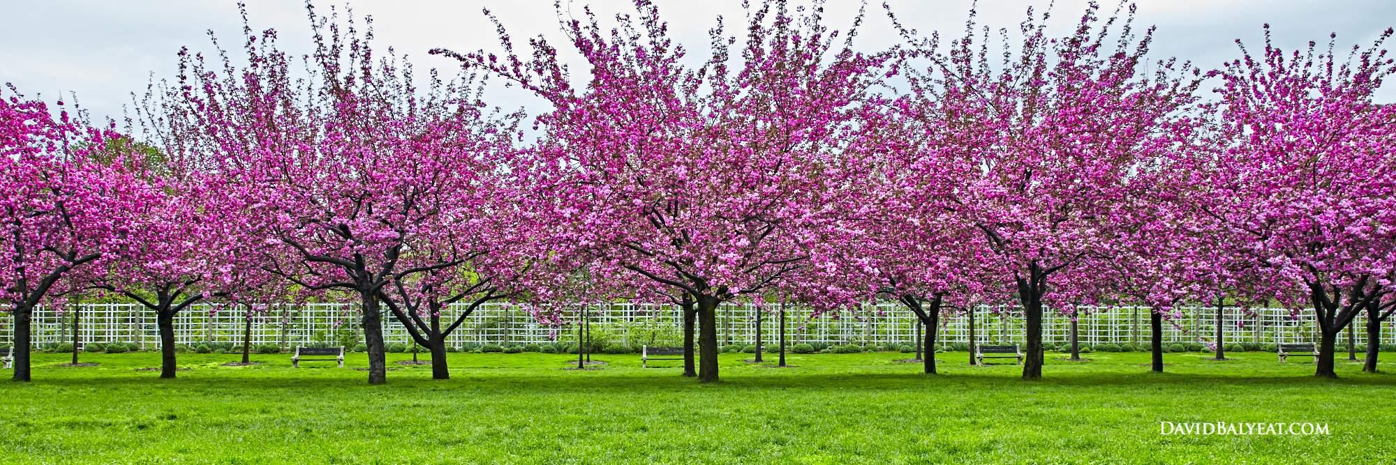 Brooklyn Botanic Garden cherry blossoms New York City high definition HD professional photography