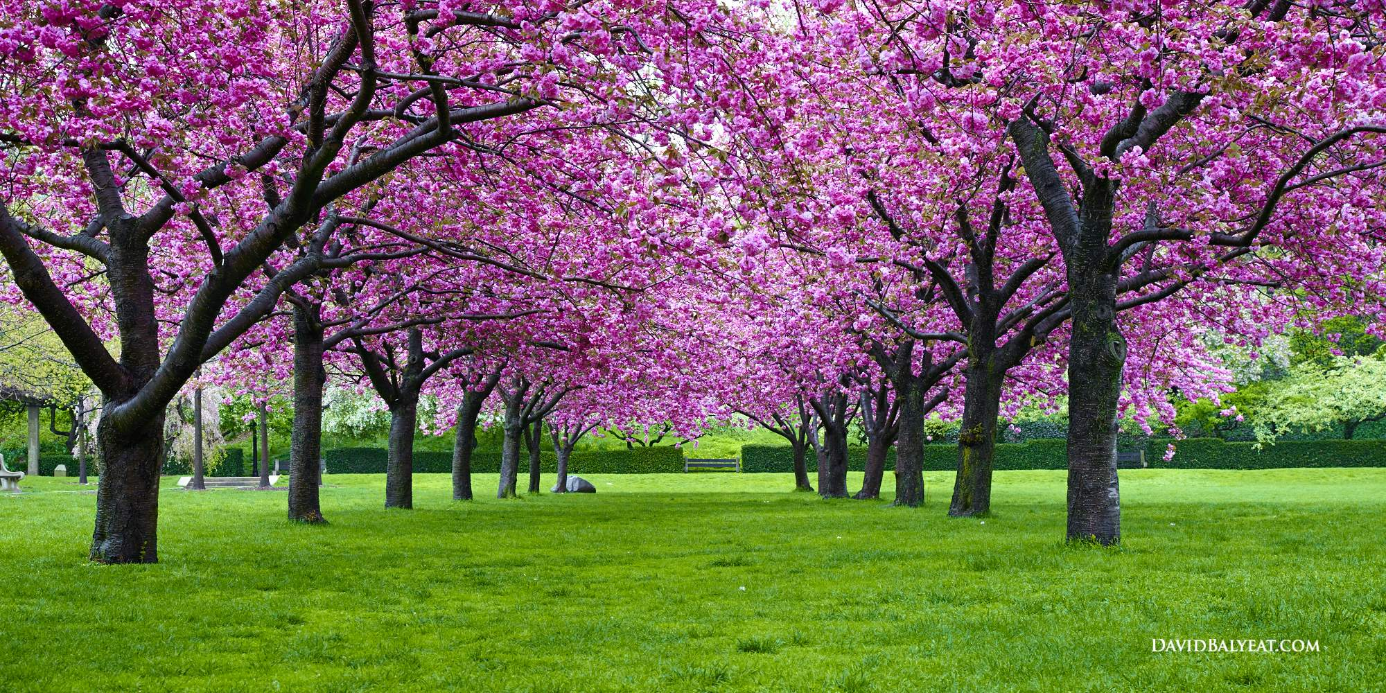 brooklyn botanic garden pink japanese cherry blossom high definition hd professional photography