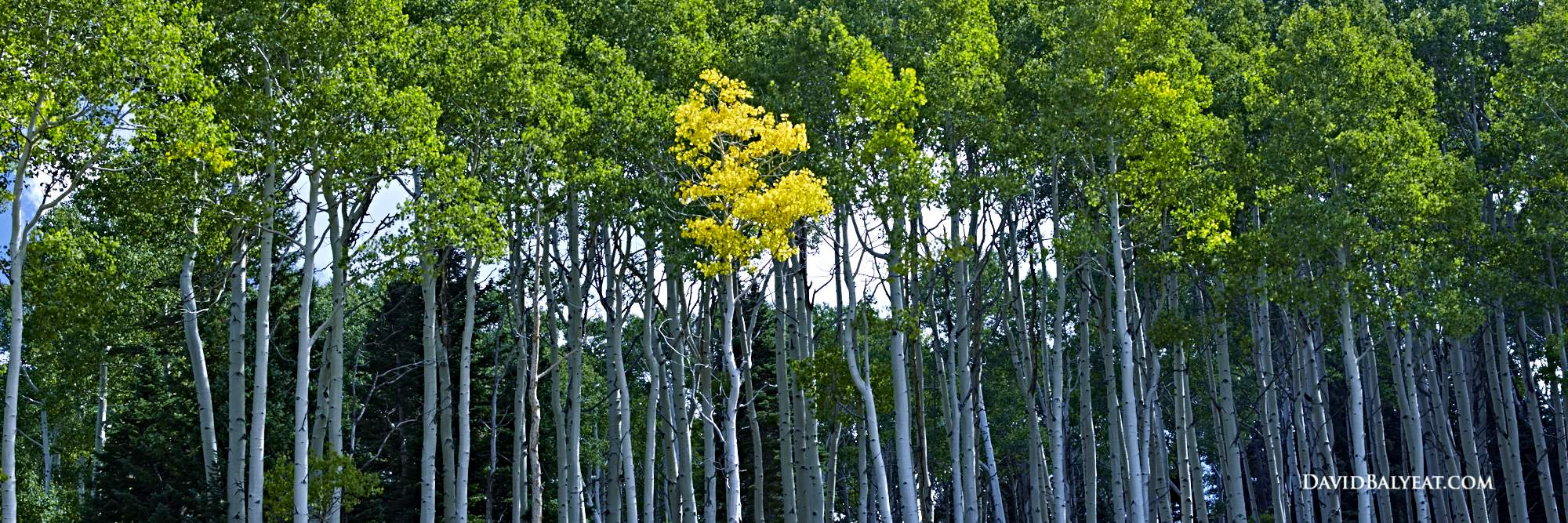 Colorado aspen trees in autumn (fall) panoramic high definition HD photography