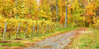 Wine Vineyard Finger Lakes Region Western New York Autumn fall foliage fine art landscape photography