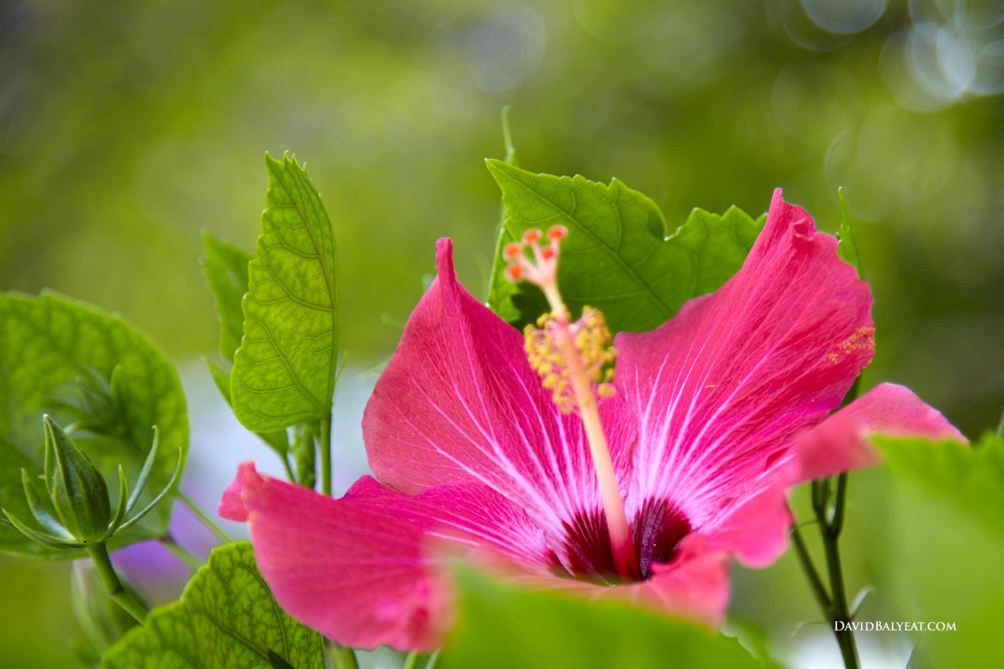 Hibiscus Florida Keys high-definition HD professional landscape photography