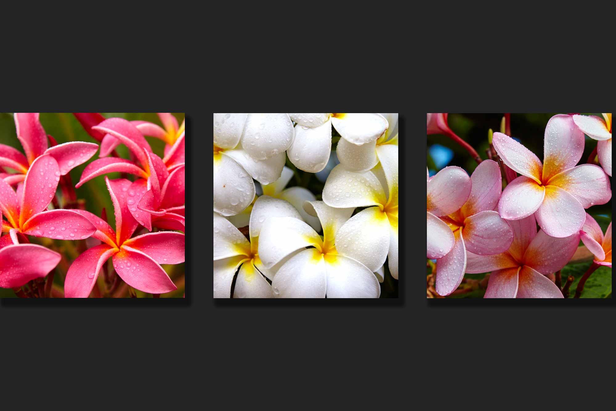 Plumeria flowers Hawaiian blossoms honolulu high definition HD professional landscape photography