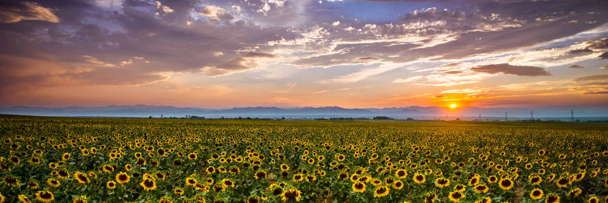 Sunflowers panoramic Denver Colorado sunset Rocky Mountains high definition HD professional landscape photography