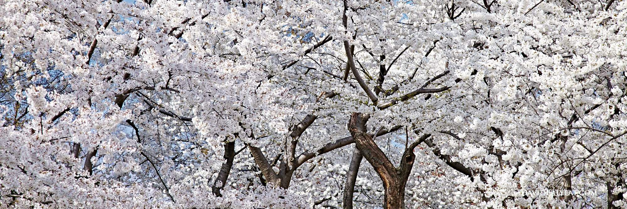 Washington D.C. cherry blossoms in full bloom in the spring high definition HD professional photography